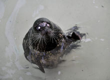 The Harbour(or Harbor) Seal. Stock Photo