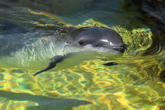 Harbour porpoise Stock Photography
