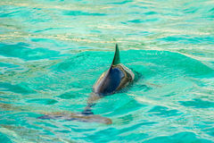 Harbour porpoise in a zoo Stock Image