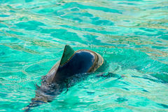 Harbour porpoise in a zoo Stock Photography