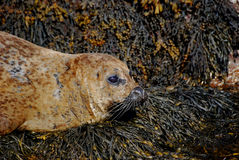 Harbour Seal Stock Photos