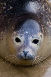 Harbour Seal. Rescued Harbour Seal (Phoca Vitulina) pup with looking at viewer Royalty Free Stock Photos