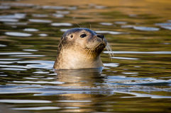 Harbour Seal. Rescued Harbour Seal (Phoca Vitulina) pup with head above water Royalty Free Stock Images
