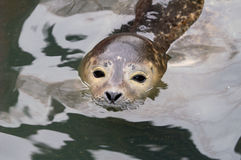 Harbour Seal. Rescued Harbour Seal (Phoca Vitulina) pup with head above water Stock Photos