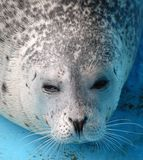 Harbour seal Stock Photography