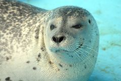 Free Harbour Seal Stock Photography - 8969612