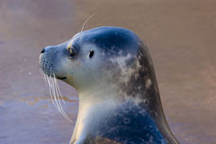 Harbour Seal Stock Images