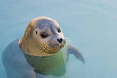 Harbour Seal Stock Image