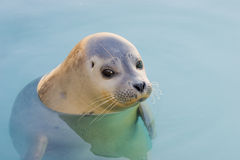 Harbour Seal Royalty Free Stock Photos