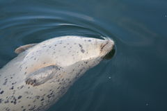 Harbour Seal British Columbia Canada. A harbor or harbour seal surfacing in the waters of British Columbia Canada Stock Photos