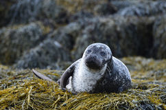 Harbour Seal on a Bunch of Seaweed Stock Image