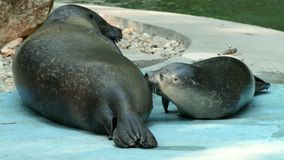 Harbour seal caring stock video footage