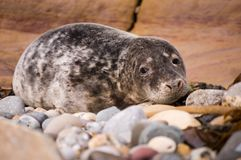 Harbour seal close up Royalty Free Stock Photography