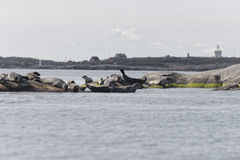Harbour seal colony laying on rocks Royalty Free Stock Photography