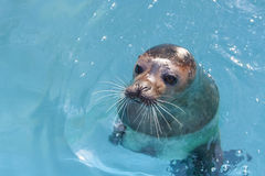 Harbour seal Royalty Free Stock Photography