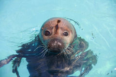 Harbour seal. Harbor seal (Phoca vitulina) in the water Stock Photo