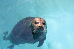 Harbour seal Royalty Free Stock Image