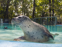 Harbour seal. Harbor seal (Phoca vitulina) in a zoo Royalty Free Stock Photo