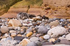 Harbour seal on pebble beach Stock Photography