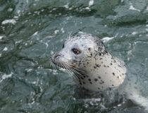 Harbour Seal (Phoca vitulina) Stock Images