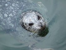 Harbour Seal (Phoca vitulina). Pokes his head out of the water Stock Photography