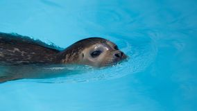 Harbour seal swimming in the pool. Harbour seal, Phoca vitulina, also known as Common seal, swimming in the pool, against beautiful blue bottom Stock Photo