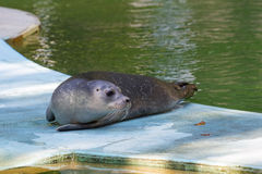 Harbour seal (Phoca vitulina) baby Royalty Free Stock Photography