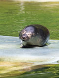 Harbour seal (Phoca vitulina) baby Stock Photos