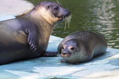 Harbour seal (Phoca vitulina) baby Royalty Free Stock Photo