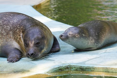 Harbour seal (Phoca vitulina) baby Stock Images