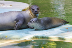 Harbour seal (Phoca vitulina) baby Royalty Free Stock Image