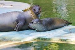 Harbour seal (Phoca vitulina) baby Royalty Free Stock Image