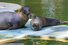 Harbour seal (Phoca vitulina) baby Royalty Free Stock Images