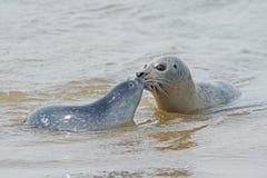 Harbour Seal Phoca vitulina royalty free stock photography
