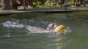 Harbour seal swimming with a ball. Harbour seal Phoca vitulina is playing with a ball royalty free stock image