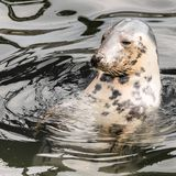 Harbour Seal (Phoca vitulina) pokes his head out of the water Royalty Free Stock Photos
