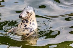 Harbour Seal (Phoca vitulina) pokes his head out of the water.  Stock Photos