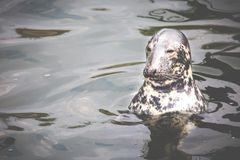 Harbour Seal (Phoca vitulina) pokes his head out of the water Stock Images