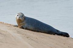 Harbour Seal Phoca vitulina stock image