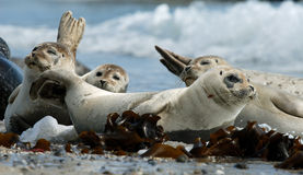 Harbour seals resting on beach Royalty Free Stock Photos
