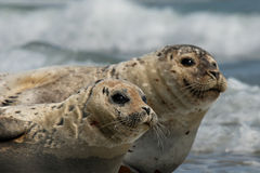 Harbour seals resting on beach Stock Images
