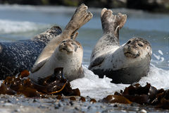 Sleepy Harbour seals resting on beach Stock Images