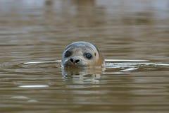 Harbour Seal Phoca vitulina stock photography