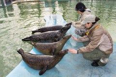 Harbour seal (Phoca vitulina) training stock image