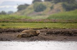 Harbour Seal with Pup Royalty Free Stock Photo