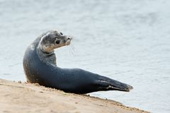 Harbour Seal Pup Phoca vitulina stock photo