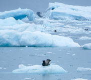 Harbour Seal relaxing on the ice Royalty Free Stock Photography