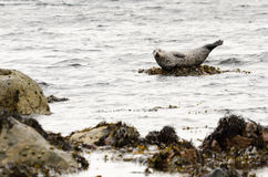 Harbour seal on rock Stock Images