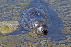 Harbour seal in shallow waters Stock Photos