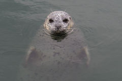 Harbour seal staring up from the water stock image